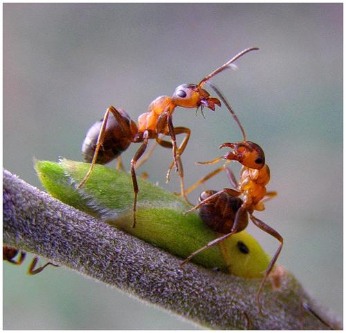 А вы знали что...или интересные факты о муравьях.