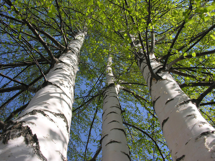...деревья на территории России (Береза, дуб, тополь, ива, осина, черемуха, липа, клен, сосна, ель, вишня.